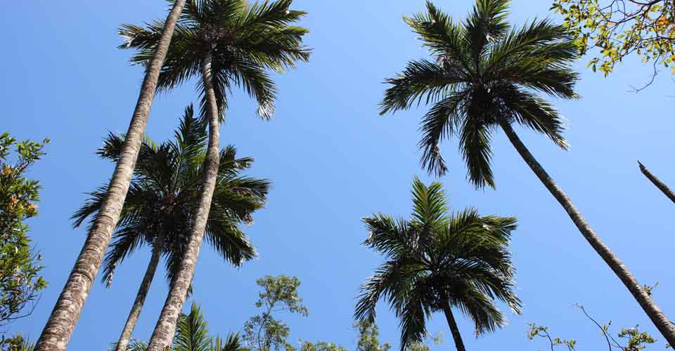 Coconut palms in Kerala